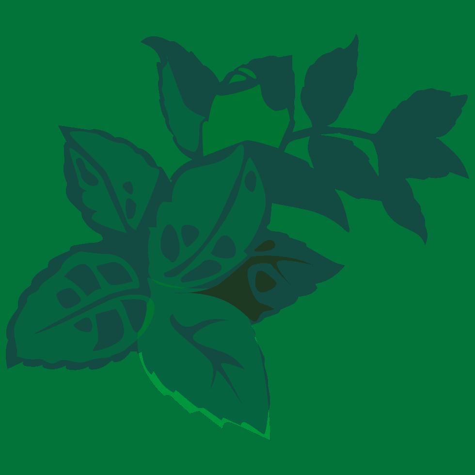 illustration de mélisse Melissa officinalis L. utilisée dans les boissons PLANTUS.