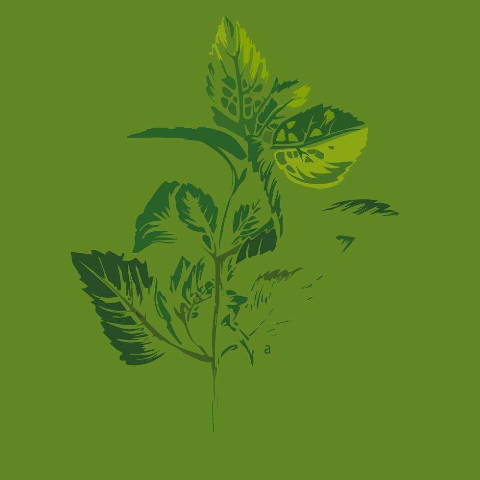 illustration de menthe poivrée Mentha x piperita L. utilisée dans les boissons PLANTUS.