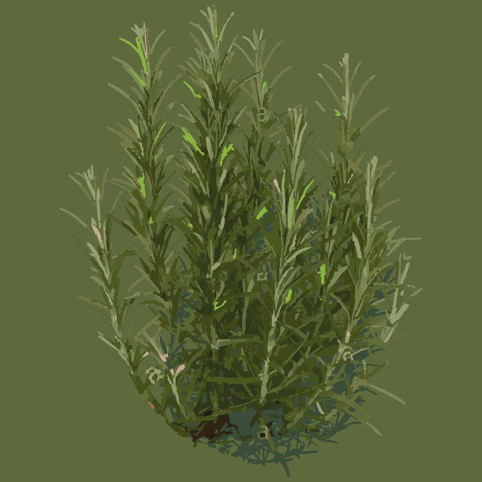 illustration de romarin Rosmarinus officinalis L. utilisée dans les boissons PLANTUS