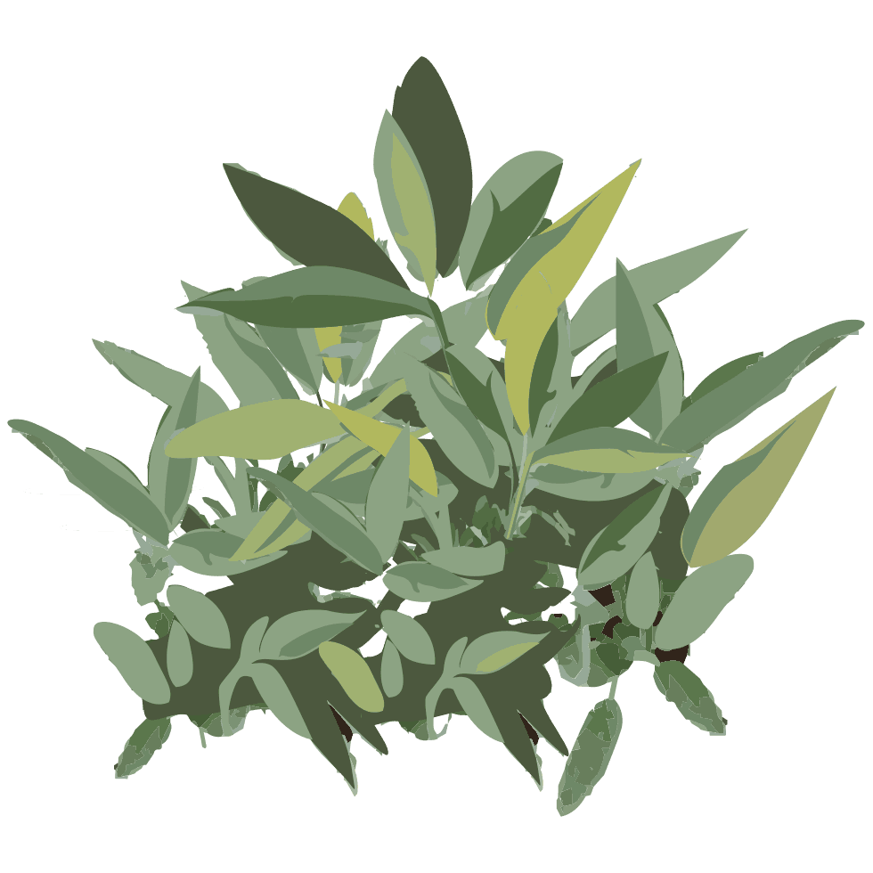 illustration de sauge Salvia officinalis L. utilisée dans les boissons PLANTUS