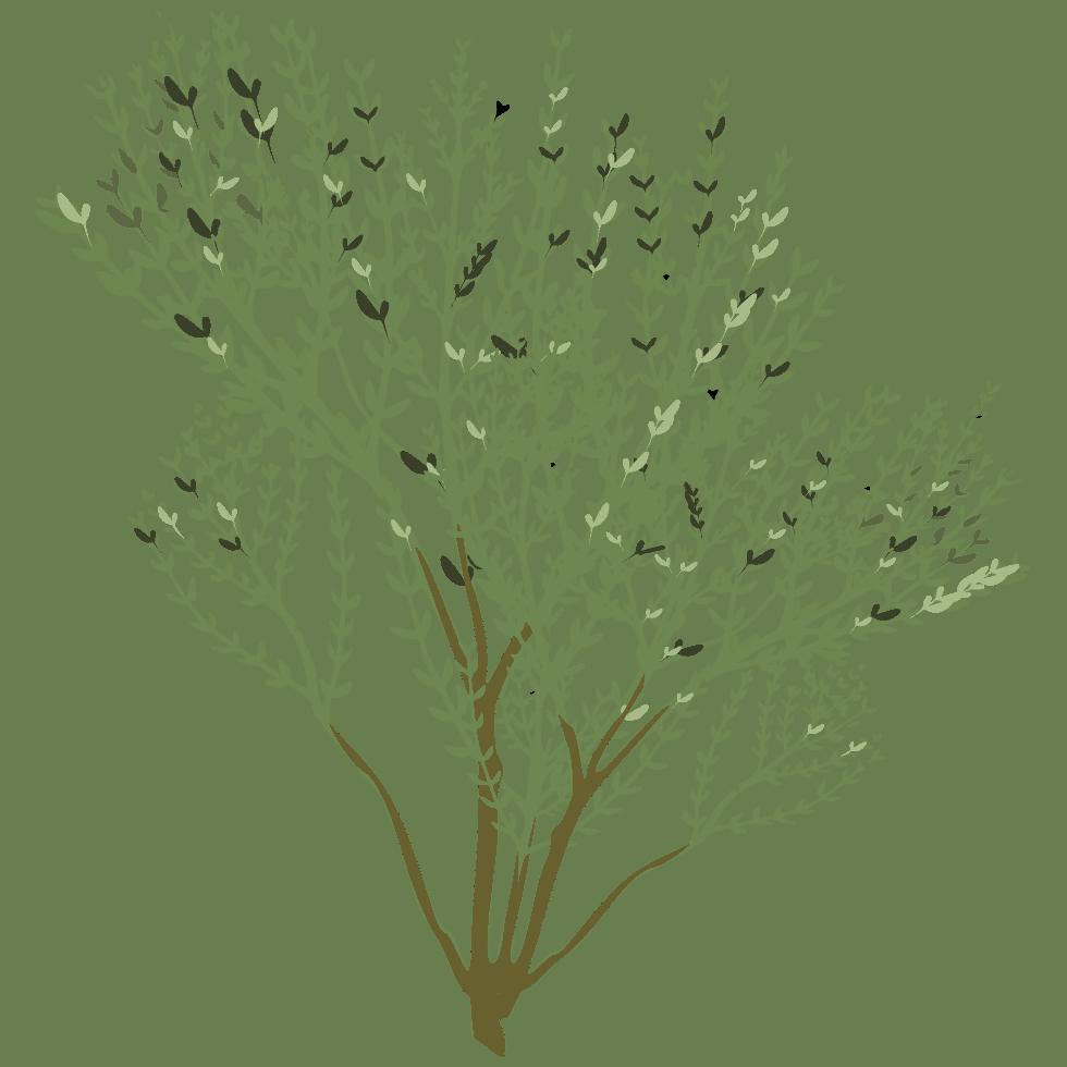 illustration de thym Thymus vulgaris L. utilisé dans les boissons PLANTUS.