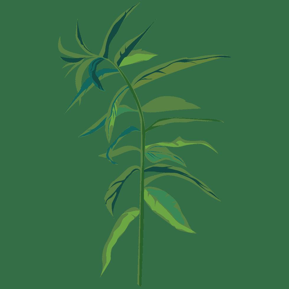 illustration de verveine Aloysia citrodora Palau utilisée dans les boissons PLANTUS.